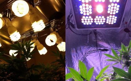 Growing cannabis with CFL grow