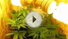 Growing Marijuana with only CFL lightsCHEAP!